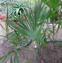 Trachycarpus oreophila... maybe... move?