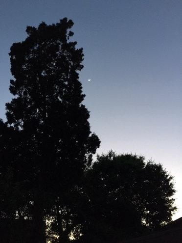 Cedar Tree at Dusk