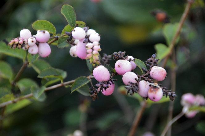 The fruit of Symphoricarpos x doorenbosii 'Kordes'.