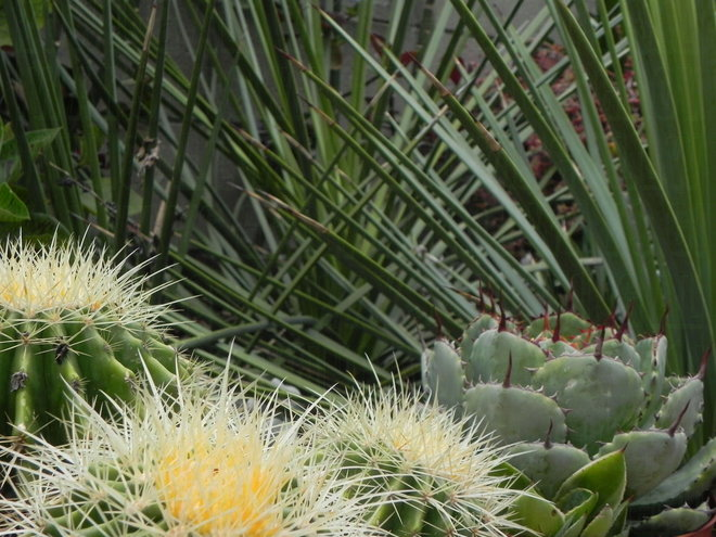 The three Agave strictas create a nice background for the barrel cacti.