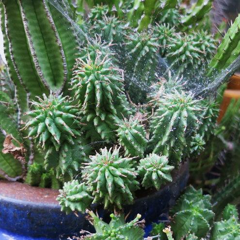 Euphorbia Twinkle Twirl (maybe)