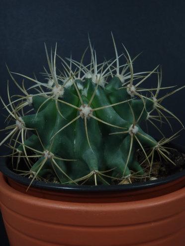 Ferocactus glaucescens - Blue Barrel Cactus - 2017-03-26 02