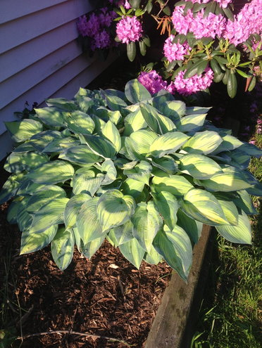 Ok.  This one is NOT deer resistant.  It's behind a fence but I love my hosta 'June'