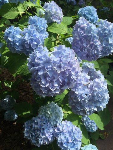 "Hydrangea ""Nikko Blue"""