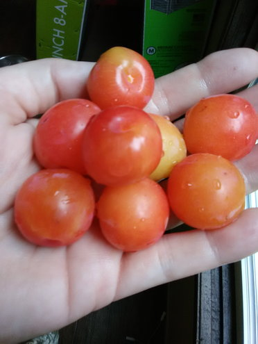 Native Chickasaw Plums