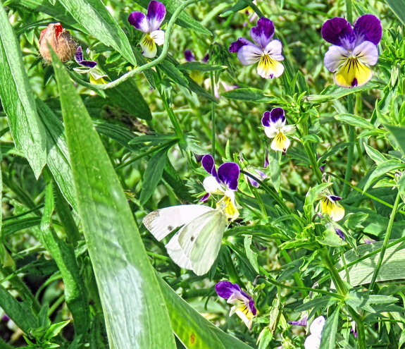 Cabbage White in Heartsease